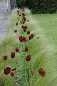 trava-a-tulipany